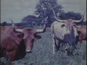 Longhorns at LH7 Ranch (1961)