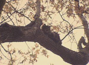 Batman the Cat Stuck in a Tree (1968)